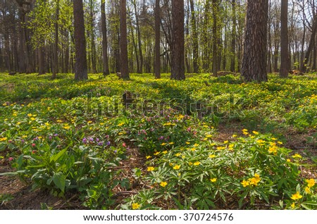 Spring forest. Blooming spring flowers - Anemone Ranunculoides and Lungwort - stock photo