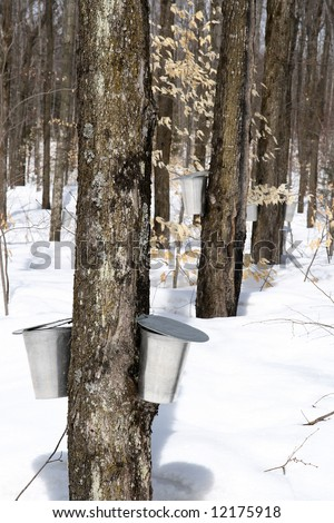 Spring forest during maple syrup season. Buckets for collecting maple sap. - stock photo