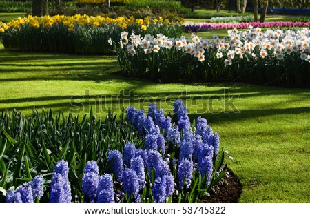 Spring garden with blue hyacinths and yellow and white daffodils on april morning - stock photo