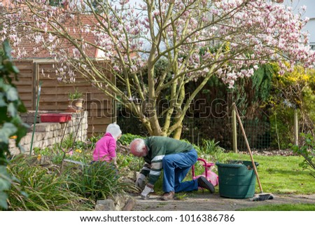 spring garden work with grandfather and granddaughter pulling up weeds with a blooming magnolia tree in the background