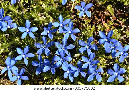 Spring Gentian in the French Alps - stock photo