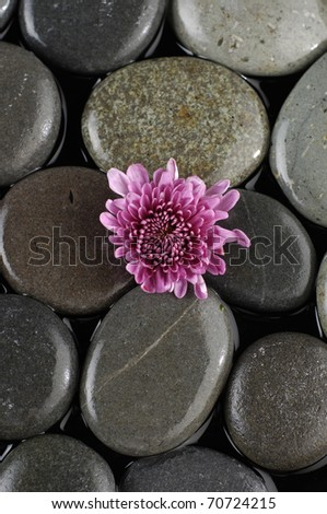 Spring gerbera pink flower on pebble - stock photo