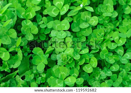 Spring green clover (shamrock) leaves to St. Patrick Day - stock photo