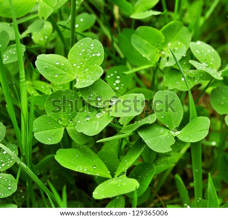 Spring green clover (shamrock) leaves with water drops - stock photo