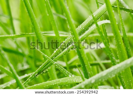 Spring green grass with drops of water