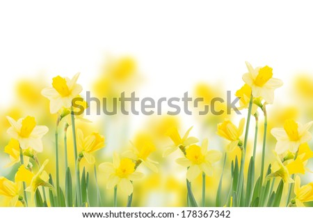 spring growing daffodils border isolated on white background - stock photo