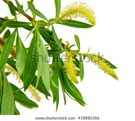 Spring has come and a trees are full of blooms .Blooming willow branch with leaves ,isolated on white background. / Without shadows /. - stock photo