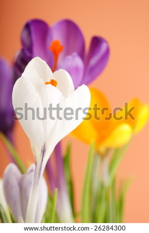 Spring holiday crocus flowers