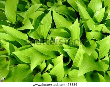 spring hosta leaves - stock photo