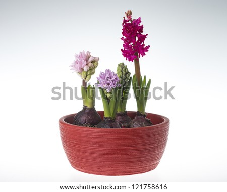 spring hyacinth in vase isolated