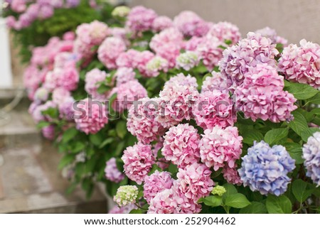 Spring Hydrangea - stock photo