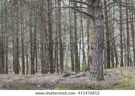 Spring in a pine forest