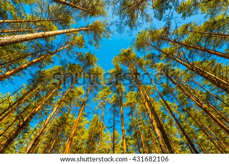 Spring in a pine forest. View of the tops of the pine trees in the sunlight from the ground level - stock photo