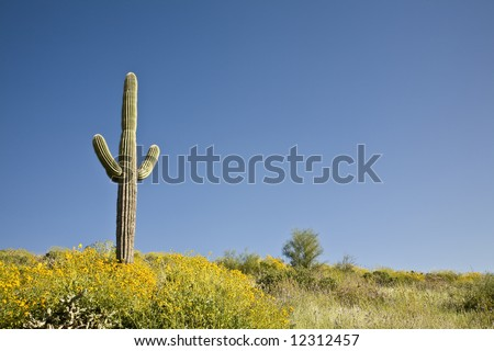 Spring in Arizona's Sonoran desert with Saguaro cactus and blooming yellow flowers.