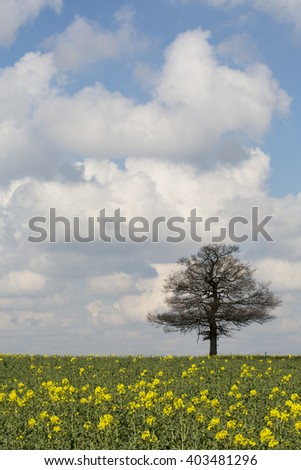 Spring in England. A single tree stands on the horizon of a field of rapeseed. The tree is beginning to start the growth of the new leaves while the sky screams of spring with its white fluffy clouds. - stock photo