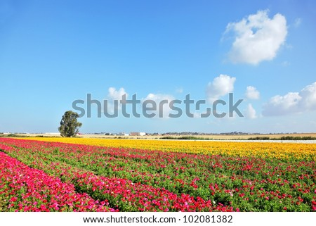 Spring in Israel. Wonderful scenic fields blooming with colorful garden buttercups - stock photo