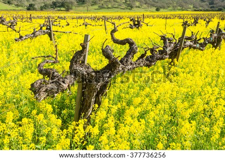Spring in Napa valley with mustard flowers - stock photo