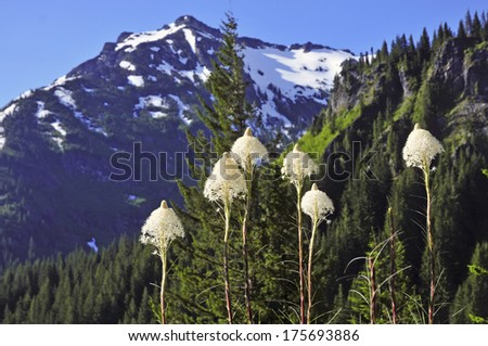 Spring in the Mountains: Bear Grass in Alpine Setting with Mountains in the Background - stock photo