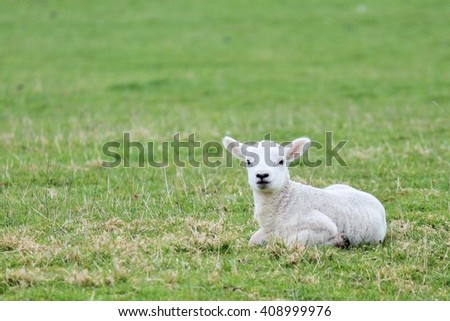 spring Lamb sheep in meadow field young animal   - stock photo