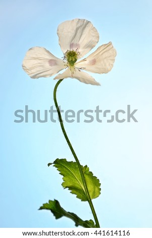Spring landscape. Beautiful blooming spring flowers poppies  - stock photo