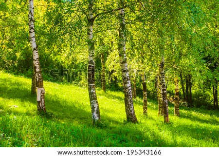 Spring landscape. Birch tree trunks and green grass in forest.