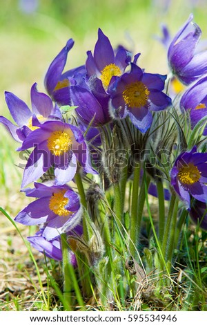 Names of spring flowers with pictures tulipa biflora circa this spring landscape flowers growing in the wild spring flower pulsatilla common names include mightylinksfo