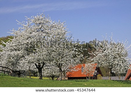 Spring landscape for the cherry blossom with farm in Hagen a.T.W., Osnabruecker Land, Lower Saxony, Germany
