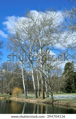 Spring landscape in the park. Wood poplar (aspen) without leaves, in early spring.