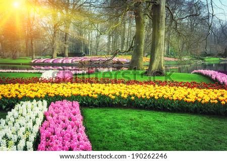 Spring landscape with colorful flowers. Keukenhof garden, Netherlands  - stock photo