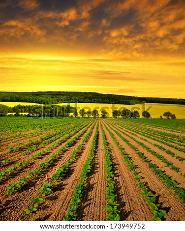 Spring landscape with freshly sown sunflower field in the sunset