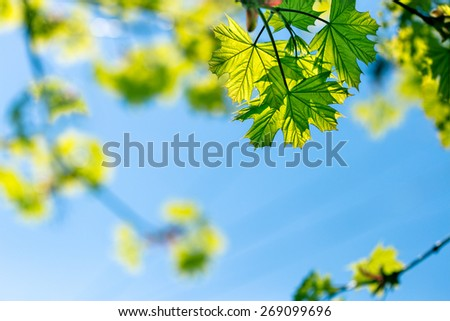 Spring leaves and blue sky as background - stock photo