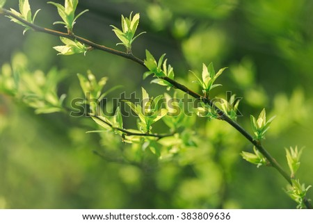 Spring leaves - fresh young spring leaves - stock photo