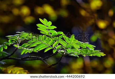 Spring leaves of the rowan in the light of the morning sun in the forest - stock photo