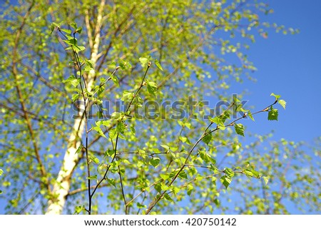Spring leaves on a background of birch trees and sky.  Betula pubescens - stock photo