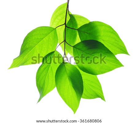 Spring leaves on white background - stock photo