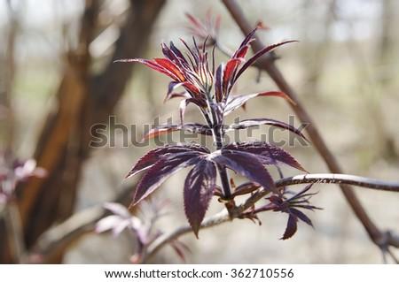 spring leaves shoot of red elder (sambucus racemosa) closeup , local focus, shallow DOF  - stock photo