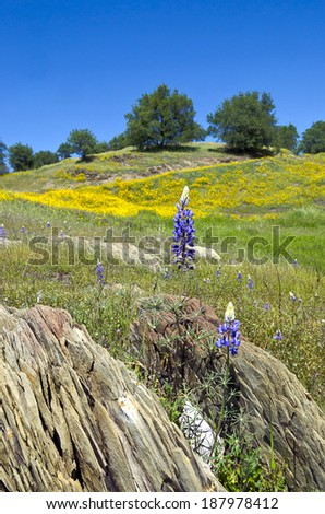 Spring Lupine and California Poppy wildflowers with White Oak trees, Northern California sierra foothills.