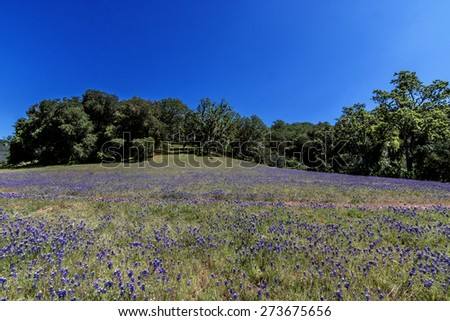 spring lupine and California wildflowers with oak trees, along the California central coast - stock photo
