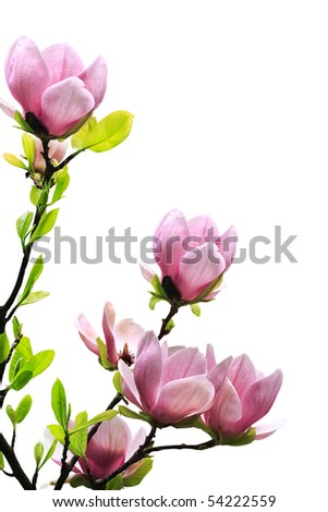 Spring magnolia tree blossoms on white background. - stock photo