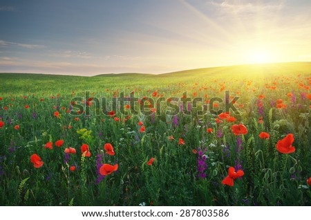 Spring meadow of poppies flowers. Composition of nature. - stock photo