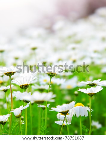 Spring meadow of white fresh daisy flowers, natural landscape, soft focus - stock photo