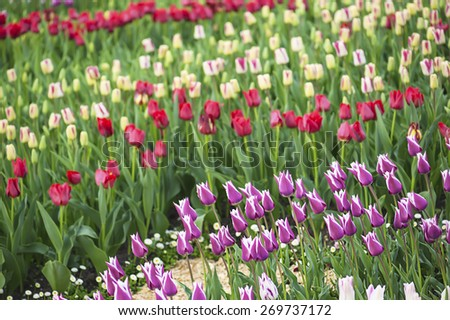 Spring meadow with a lot of multicolored tulip flowers, floral background - stock photo
