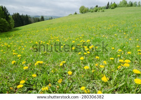 Spring meadow with green grass and flowering yellow dandelions - stock photo