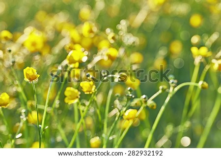 Spring meadow with many yellow buttercups - stock photo