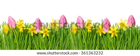 Spring narcissus and tulip flowers in green grass with water drops. Floral easter border - stock photo