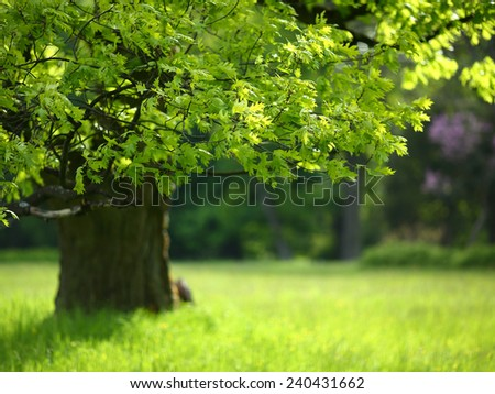 Spring oak tree with colorful leaves, nature - stock photo