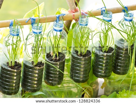 Spring onion grow in used water bottle, vegetables plant for urban life. - stock photo