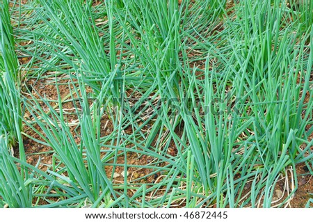 Spring onion Plants Growing In The Farm - stock photo