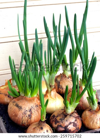 Spring onions growing in plastic box with soil - stock photo