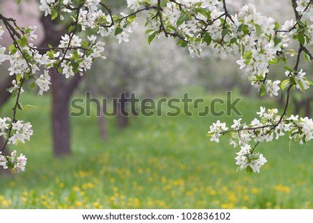Spring orchard, blooming apple trees. - stock photo